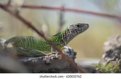 European green lizard - Shutterstock ID 620033762