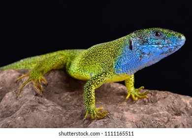 The European green lizard (Lacerta viridis) is a large omnivorous lizard species.
