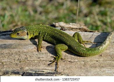 European green lizard (Lacerta viridis) is a large lizard distributed across European midlatitudes from Slovenia and eastern Austria to as far east as the Black Sea coasts of Ukraine and Turkey.