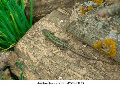 The European green lizard (Lacerta viridis). Reptile close up. Lizard close up shot. Nature background pattern. Long tail green and grey lizard.