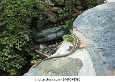 The European green lizard Lacerta viridis. Reptile close up. Lizard close up shot. Nature background pattern. Long tail green and grey lizard