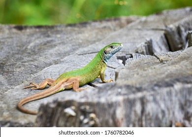 European green lizard (Lacerta viridis) sunbathing in the morning