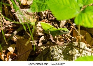 European green lizard (Lacerta viridis), in The Dragons' Garden from Sălaj County, Romania