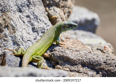 European green lizard (Lacerta viridis) sunbathing in the morning on rocks - Shutterstock ID 2009197217
