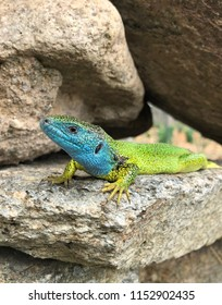 European green lizzard