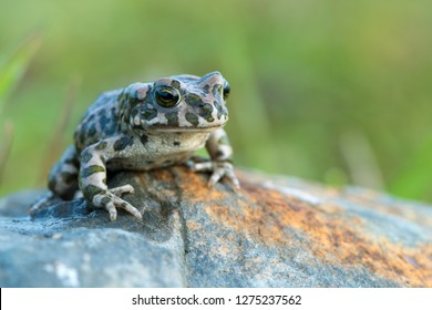 The European green toad (Bufo viridis)