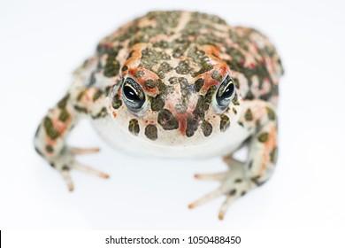 European green toad (Bufotes viridis) ex (Bufo viridis) macro. White panel background.