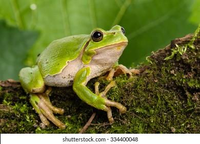 European green tree frog (Hyla arborea formerly Rana arborea) lurking for prey in natural environment