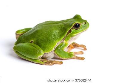 European green tree frog (Hyla arborea formerly Rana arborea) isolated on white