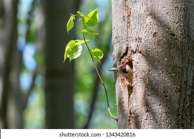European green woodpecker looking out of the nest hole on linden trunk. Male insectivorous bird with long bill and red cap (Picus viridis) in european forest.
