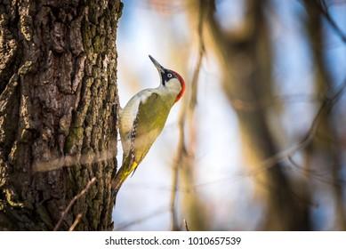 European green woodpecker (Picus viridis)