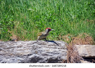 European green woodpecker (Picus viridis)  surrounded by grass  Piemonte Italy on may 4th 2016