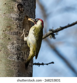 European green woodpecker (Picus viridis) with wood in the beak during excavation of  a nest hole in an aspen tree in Uppland, Sweden