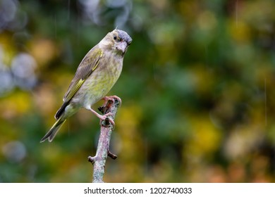 European Greenfinch (Carduelis chloris) perched with beautiful autumn background, United Kingdom