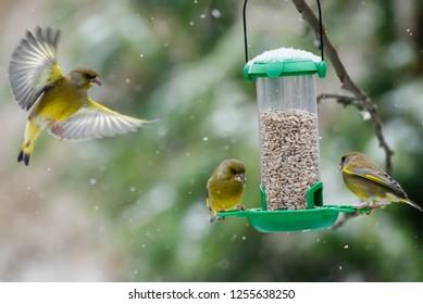 European greenfinch (Chloris chloris) birds fighting for food at bird feeder.