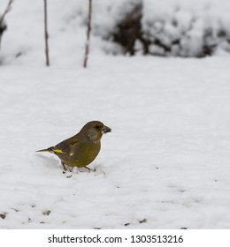 European Greenfinch, Chloris Chloris, finding food on the snowy ground