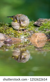 European Greenfinch - Chloris chloris , stands near water on twigs with moss and stones. Mirroring on the water surface. Wildlife.