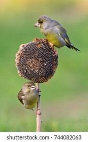 European Greenfinch - Chloris chloris. Two little bird sits on a sunflower plant and feeds sunflower semisweet. Wildlife scenery, Slovakia, Europe.