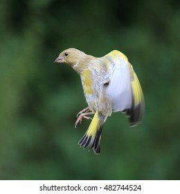 European Greenfinch in flight, ready to land on a bird feeder (out of the picture)
