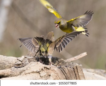 The European greenfinch, or just greenfinch (Chloris chloris), is a small passerine bird in the finch family Fringillidae