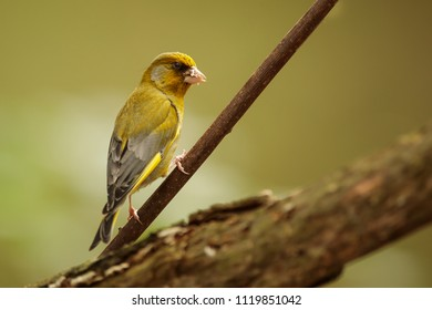 European greenfinch,Carduelis chloris with back light