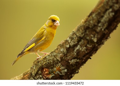 European greenfinch,Carduelis chloris, with green background