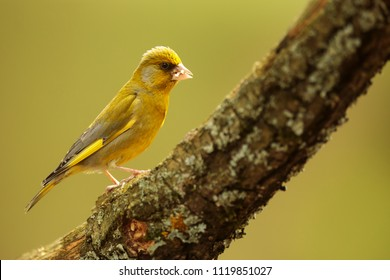 European greenfinch,Carduelis chloris very nice portrait with beautiful light