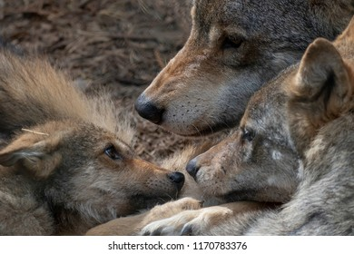 European grey wolf, Canis lupus lupus, showing communal behaviour while resting with young.