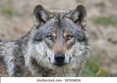 European grey wolf, Canis lupus
