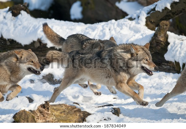European grey wolf, Canis lupus
