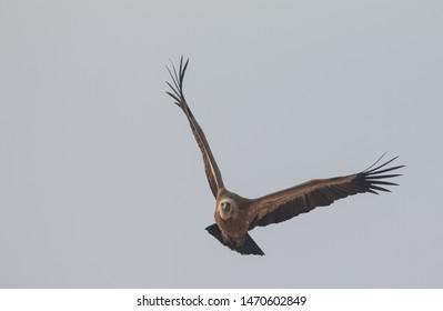 European Griffon Vulture flying high at Jorbeer Vulture Sanctuary
