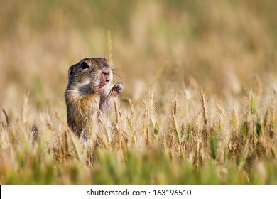 European ground squirrel eating dry barley seeds