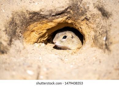European ground squirrel, Spermophilus citellus, aka European souslik. Small rodent hidden in the burrow.