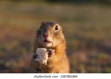 European ground squirrel standing in the field. Spermophilus citellus wildlife scene from nature. European souslik eating bread on meadow