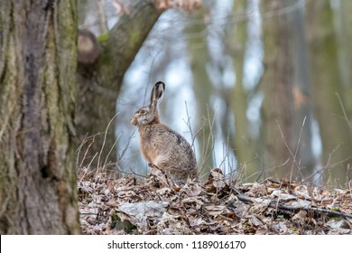 European hare in the autumn forest. Brown hare (Lepus europaeus) with long ears sitting on fallen leaves with blurred trees in background. Wildlife scene, Czech Republic.