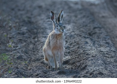 European Hare with comical expression. Front profile, looking at camera. Taken in March.