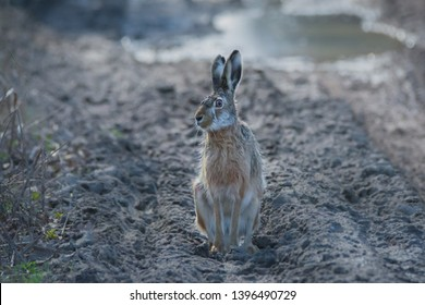 European Hare with comical expression. Front profile, face turned, looking at camera. Taken in March.