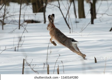 The European hare (Lepus europaeus)