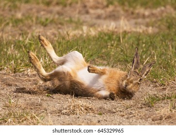 European hare (Lepus europaeus), also known as the brown hare,