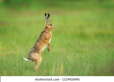 European hare, Lepus europaeus, looking around dangerous