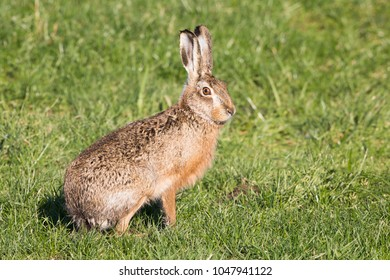 European hare (Lepus europaeus) in the polder of Eemnes (the Netherlands)