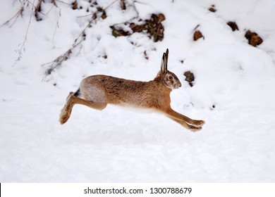 The European hare (Lepus europaeus) running on the snow covered field