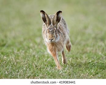 European hare (Lepus europaeus) running in its natural habitat