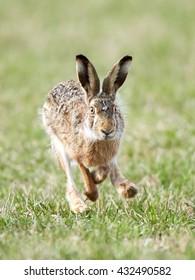 European hare (Lepus europaeus) running in grass in its habitat