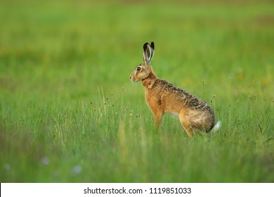 European hare, Lepus europaeus, is sitting in teh grass
