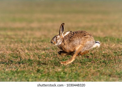 The European hare (Lepus europaeus) in sprint. Except for Central and Sound Europe lives mostly in Germany, France, United Kingdom (UK), Spain, Italy, Russia and Benelux countries.