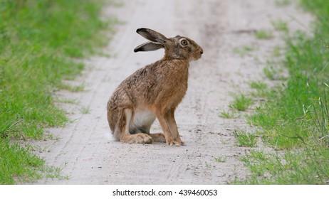 European hare (Lepus europaeus) wildlife in nature
