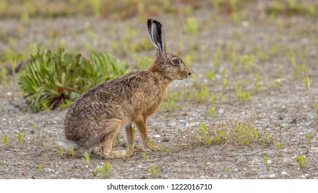 European Hare (Lepus europeaus) sitting on sand in open field