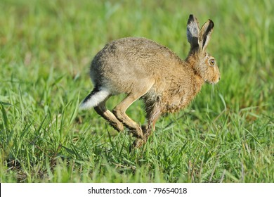 European Hare running across a meadow.