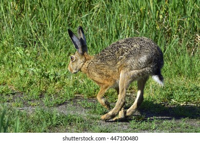 European hare  running over a meadow